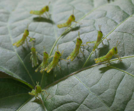 Small grasshoppers that have collected on a morning glory leaf