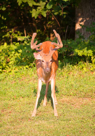 black tail deer: Big buck that is coming from a dark forest