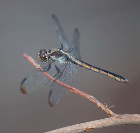 brown  eyed: Brown eyed dragonfly that is resting on a stick