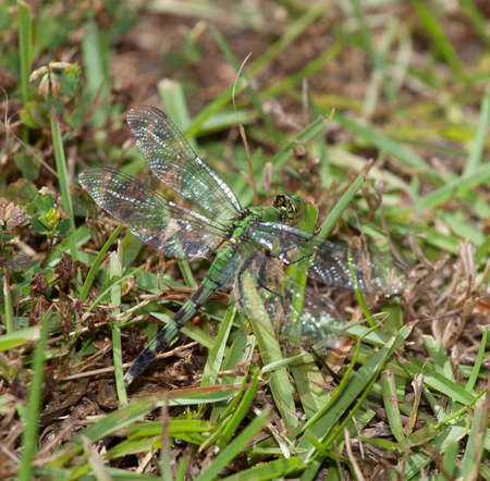 blends: Green dragonfly that blends in very well on the grass