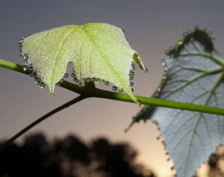 Grape leaf that has dew dripping off before sunrise Фото со стока