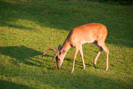 sniff: Whitetail buck with antlers in velvet sniffing something on the ground