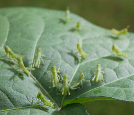 grasshoppers: Very young green grasshoppers spreading out across a leaf