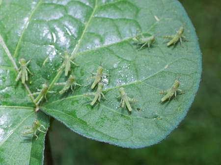 animal vein: Small grasshoppers ready to attack a morning glory leaf Stock Photo