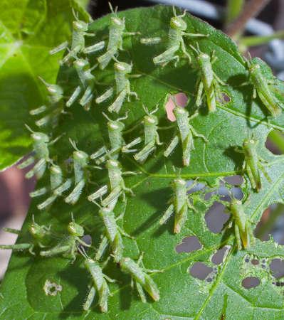 shredding: Small green grasshoppers shredding a morning glory leaf