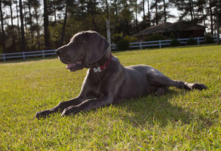 sunning: Grey Great Dane puppy that is sunning on some grass