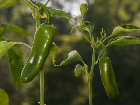Chilies to make paprika that are still green on plant
