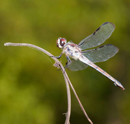 brown  eyed: Brown eyed dragonfly on a stick with a green background Stock Photo