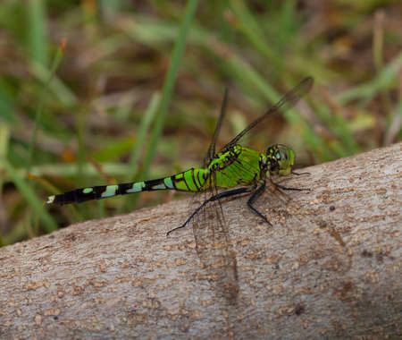 log hair: Big green dragonfly on a log with its head slightly turned