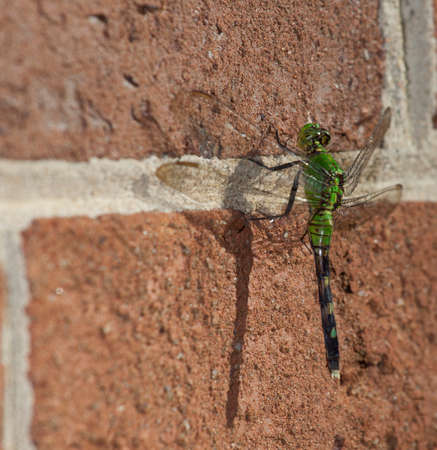 with orange and white body: Bright green dragonfly that is climbing on a brick wall