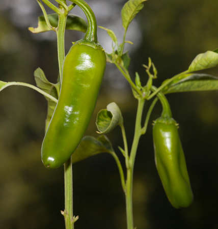 Two chili peppers used for paprika growing on a plant