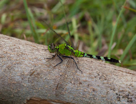 neon green: Large neon green dragonfly sitting on a log