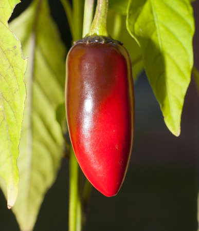 red jalapeno: Jalapeno on the plant that is turning bright red