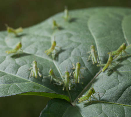 grasshoppers: Group of small grasshoppers on the top of a morning glory leaf Stock Photo