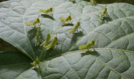 grasshoppers: Tiny grasshoppers on the top of a morning glory leaf at first light to eat