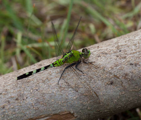 neon green: Neon green dragonfly that is sitting on a log