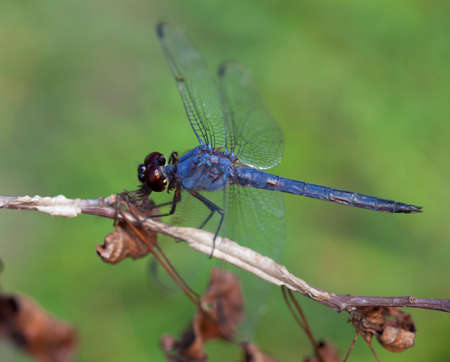 dragonfly wing: Blue dragonfly on a dead branch with a green background