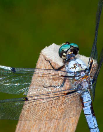 Dragonfly from behind its head up close and personal Banco de Imagens