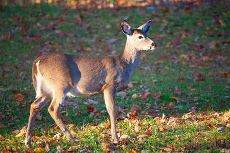 whitetail: Single young whitetail deer that has spotted something