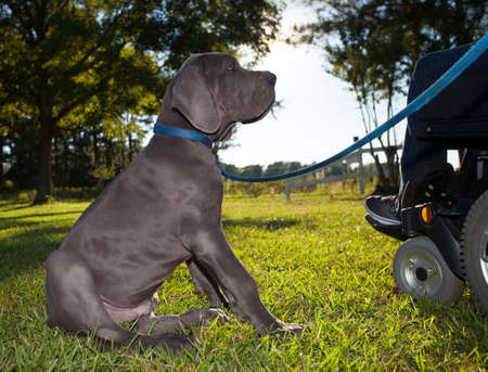 great dane: Gray Great Dane puppy looking lovingly at its owner in a wheelchair