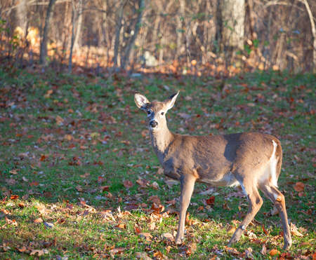 whitetail: Young whitetail deer that is staying close to the forest