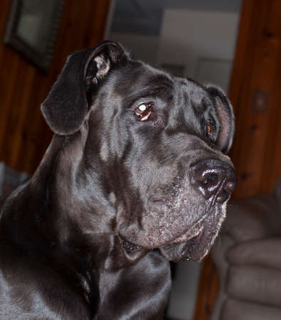 great dane: Black Great Dane that is guarding the inside of a house
