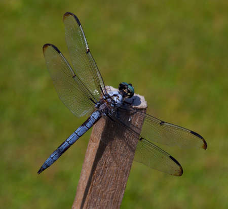 Blue headed dragonfly that is sitting on a stick