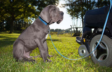 dog wheelchair: Gray Great Dane Puppy looking at the wheelchair of its owner