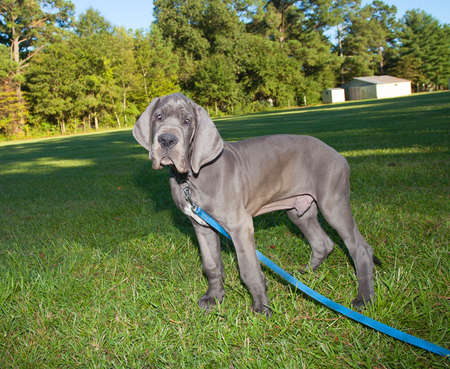 dane: Gray Great Dane puppy standing in a grassy field Stock Photo
