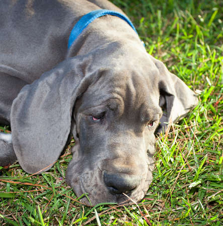 dane: Gray Great Dane puppy with its head on the grass looking worried Stock Photo