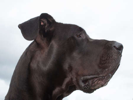 dane: Black Great Dane profile photo with white clouds behind