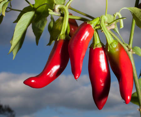 Bright red peppers for paprika hanging on the plant