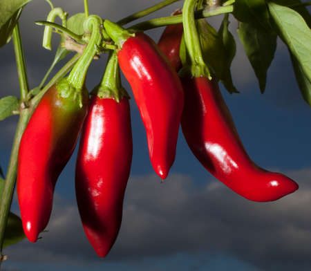 Red peppers used for making paprika ripening on the vine Imagens