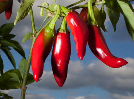 Bright red peppers on the plant ready to harvest and make paprika Imagens