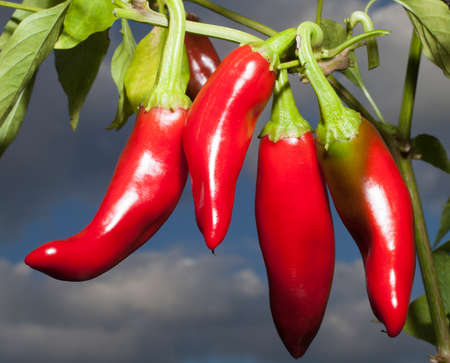 Red peppers used for making sweet paprika ripe on the plant