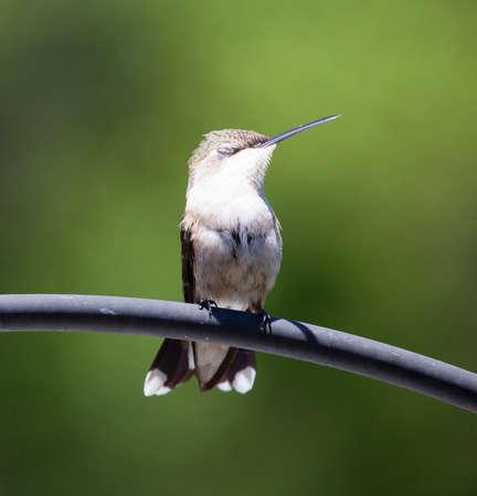 Hummingbird appollaiato su un tubo metallico con i suoi occhi chiusi Archivio Fotografico - 49983723