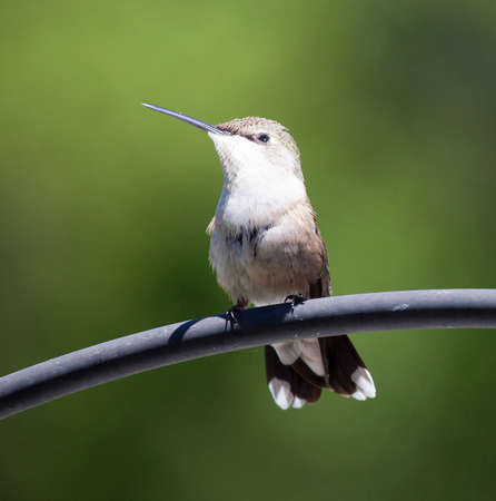 in the mouth: White chested hummingbird waiting on a metal object Stock Photo
