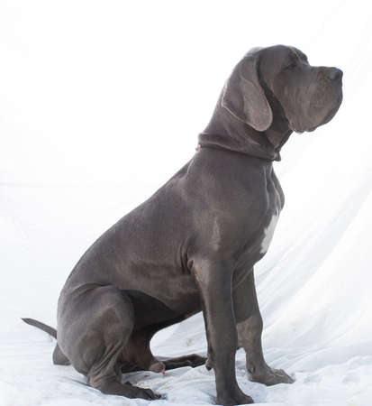 dane: Grey colored Great Dane sitting on a white sheet Stock Photo