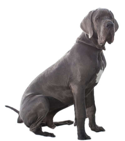 Great Dane that is grey sitting on a white sheet