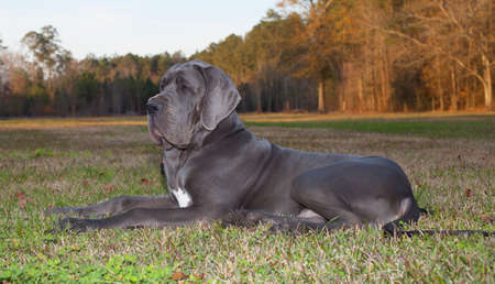 great dane: Blue Great Dane laying down on the grass with trees behind