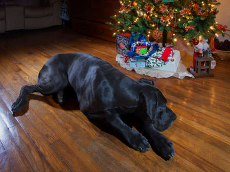 Black Great Dane that is laying down next to the Christmas tree Stock Photo