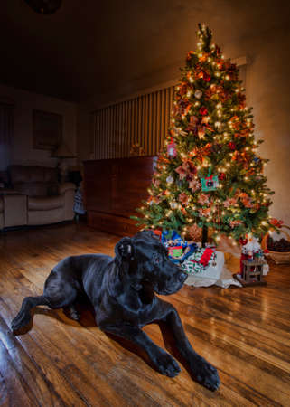 eyes: Black Great Dane keeping watch near the Christmas tree Stock Photo