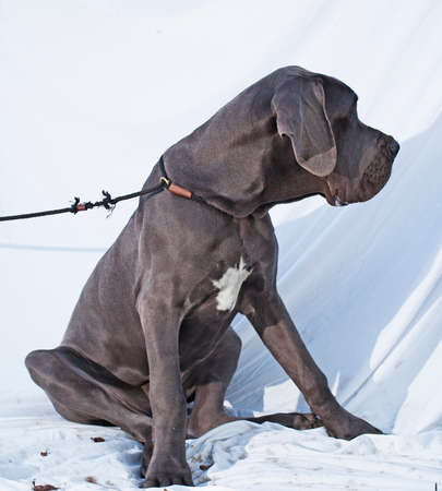 dane: Blue Great Dane that is sitting on a white sheet Stock Photo