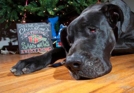 Black Great Dane laying next to a Christmas tree that looks sad