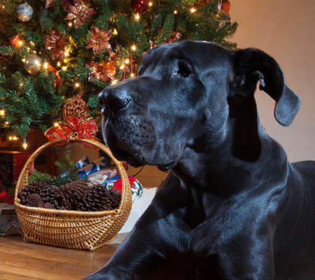 great dane: Black Great Dane that is laying next to a Christmas tree