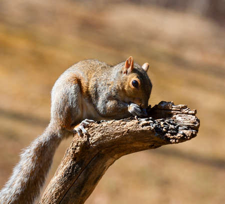 devouring: Tree squirrel that is devouring a bunch of sunflower seeds