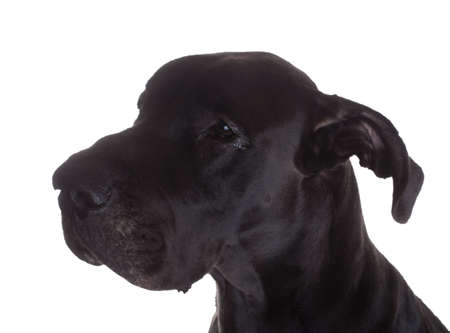 great dane: That look a black purebred Great Dane gives when it has some something wrong