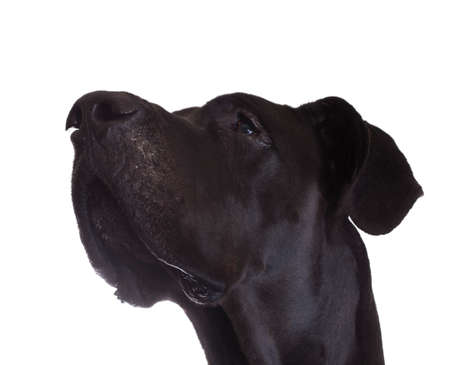 reverent: Black Great Dane looking up isolated on a white background Stock Photo