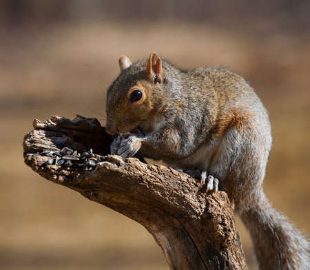 semillas de girasol: Squirrel eating sunflower seeds during a fall afternoon