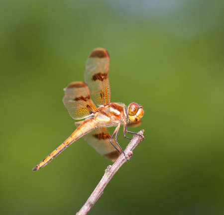 coloration: Dragonfly with bright orange coloration on a stick